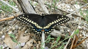 Black butterfly with yellow and blue splotches at the tips of its extended wings.