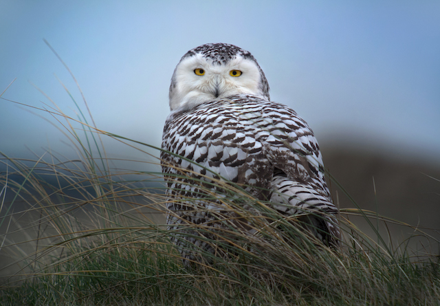 Winter Wildlife Cruise - Snowy Owl